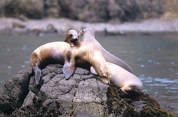 Animals Photograph - Spirited Sea Lions by Don Kreuter