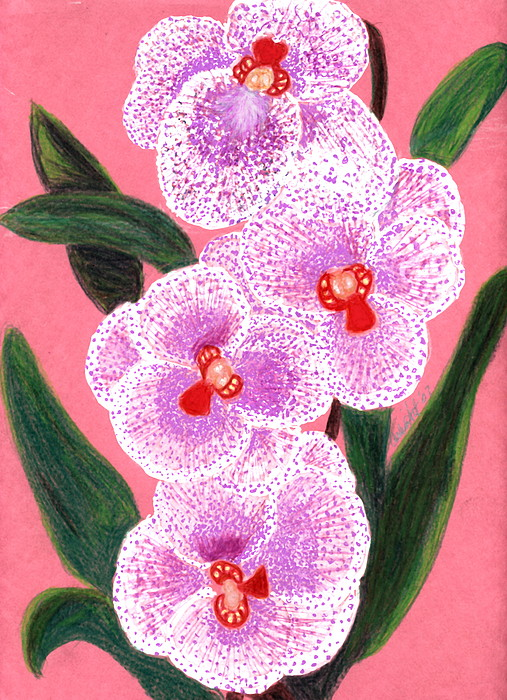Spotted Orchid Against A Pink Wall Drawing by Carliss Mora