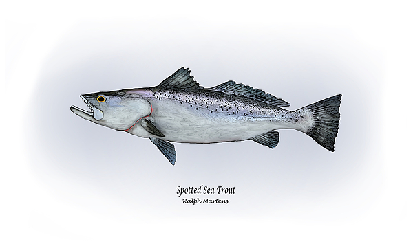 Spotted Sea Trout Painting - Spotted Sea Trout by Ralph Martens