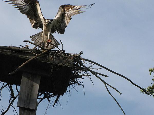 Osprey Photograph - Spread Your Wings by Johanne Hammond