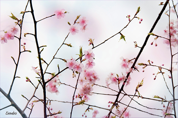 Cherry Blossoms Photograph - Spring Awakening by Eena Bo