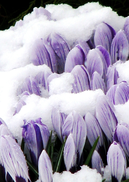 Purple Crocus Photograph - Spring In Hiding by Angela Davies