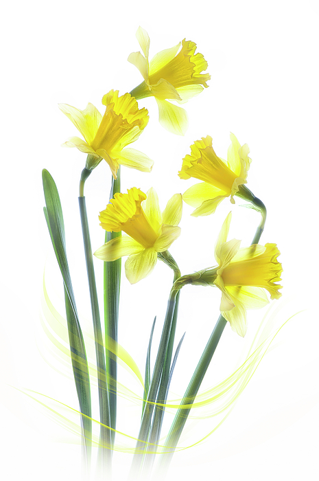Narcissus Photograph - Spring Narcissus by Jacky Parker