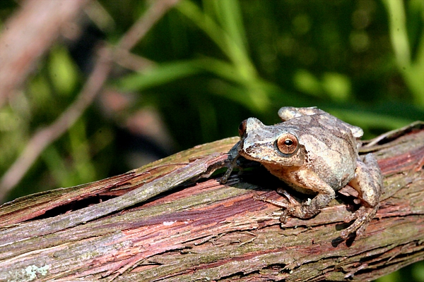 Animals Photograph - Spring Peeper by Betsy LaMere