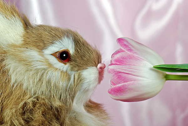 Bunny Photograph - Spring Sniffer by Maria Dryfhout