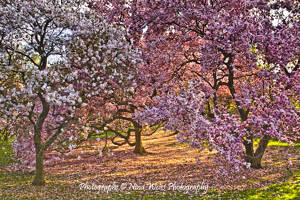 Spring Photograph - Spring Trees by Nina Weiss