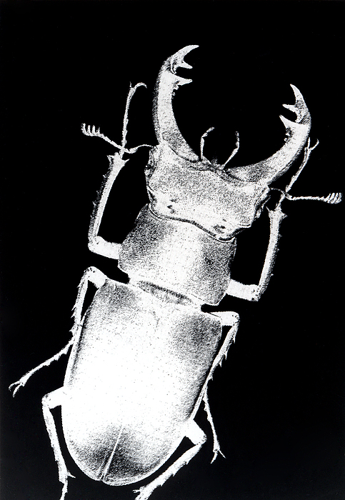 Abstract Photograph - Stag Beetle by Gabriela Insuratelu