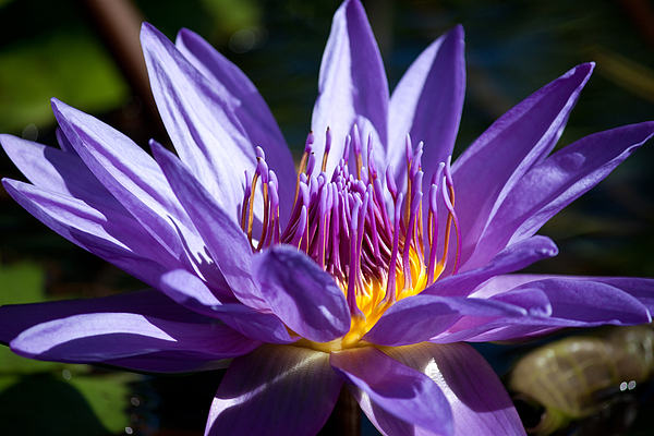 Water Photograph - Star Lotus Soaks Up The Sun by J Mattson