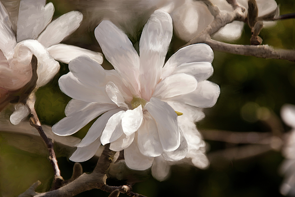 Star Magnolia Painting Painting - Star Magnolia Painting by Don  Wright