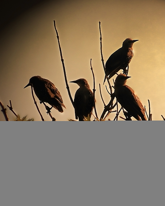 Starlings Photograph - Starlings by Sharon Lisa Clarke