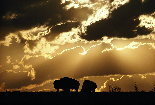 American Bison Photograph - Stately American Bison by George F. Mobley