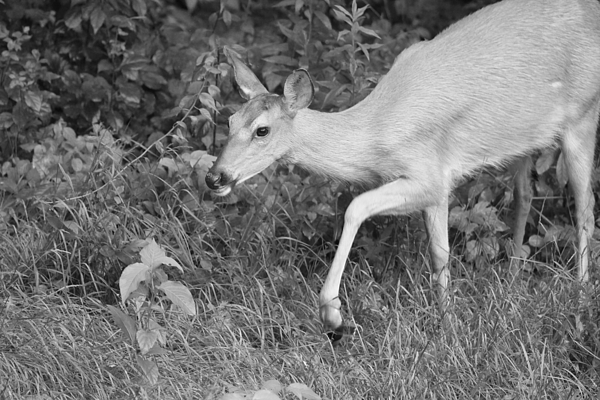 Deer Photograph - Steppin Out Bw by Karol Livote