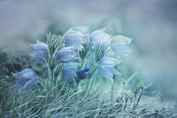 Pasque Flower Photograph - Stick Together by Priska Wettstein