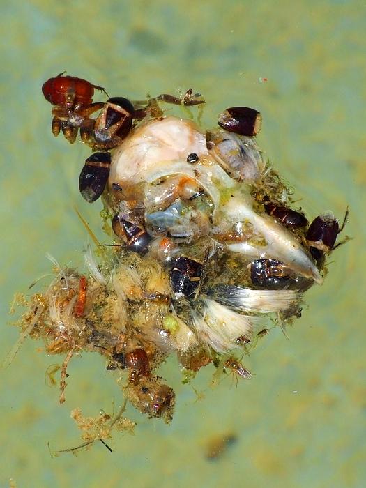 Water Beetles Photograph - Still Life Still Death by Bill Vernon