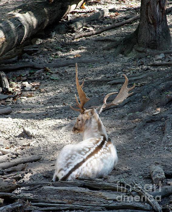 Deer Photograph - Stillness  by Steven Digman