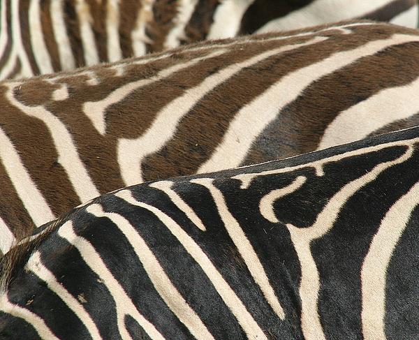 Zebra Photograph - Stripes by Donald Tusa