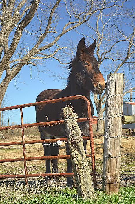 Mule Photograph - Stubbornness by Rhonda Dykes
