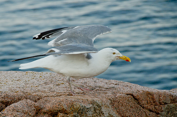 Seagull Photograph - Summer Breeze by Frank Pietlock
