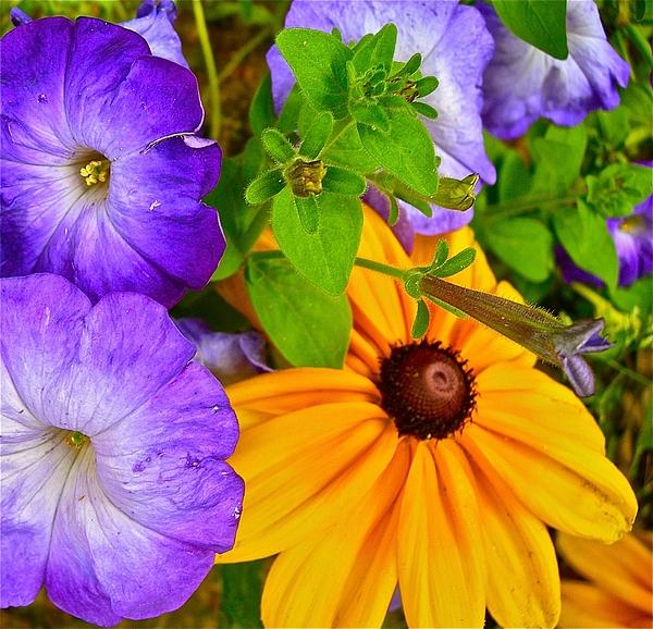 Petunias Photograph - Summer Sensations by Randy Rosenberger