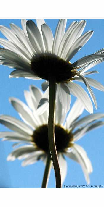 Daisy Photograph - Summertime by Kate Watkins