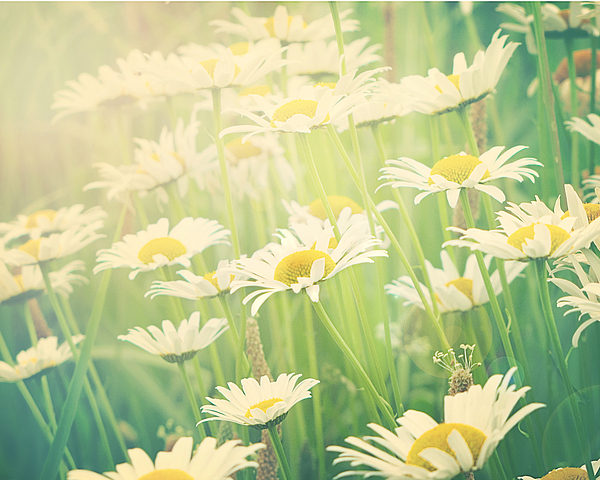 Field Of Daisies Photograph - Sunday Morning by Amy Tyler