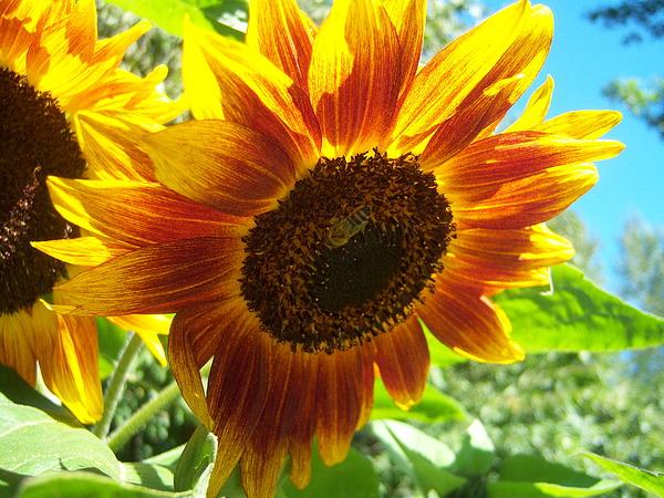 Sun Photograph - Sunflower 104 by Ken Day