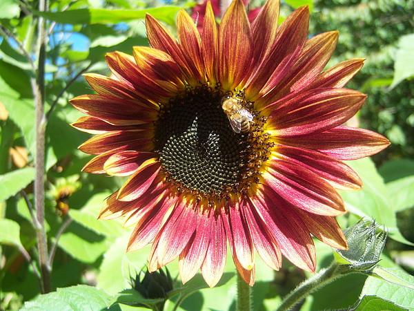 Sun Photograph - Sunflower 108 by Ken Day