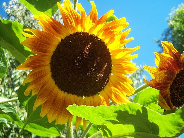 Sun Photograph - Sunflower 117 by Ken Day
