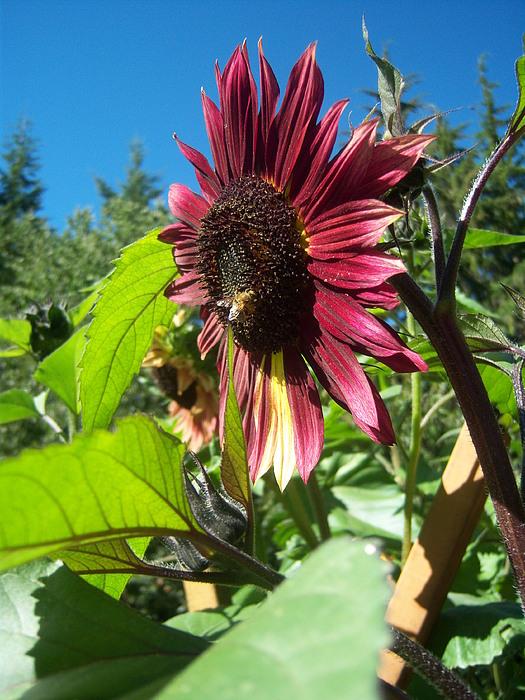 Sun Photograph - Sunflower 127 by Ken Day