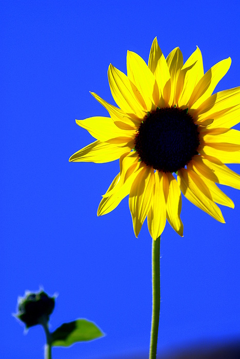 Flowers Photograph - Sunflower 2 by Marty Koch