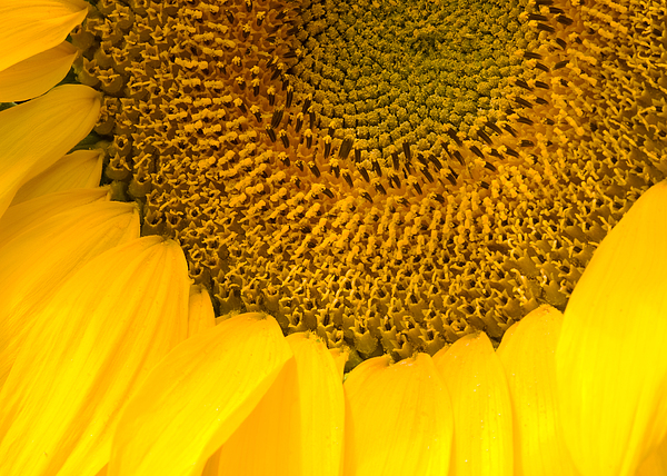 Sun Photograph - Sunflower by Charlie Hunt
