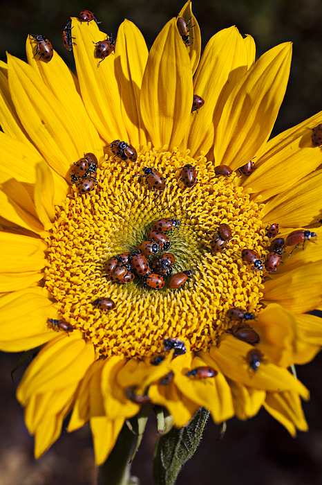 Ladybird Photograph - Sunflower Covered In Ladybugs by Garry Gay