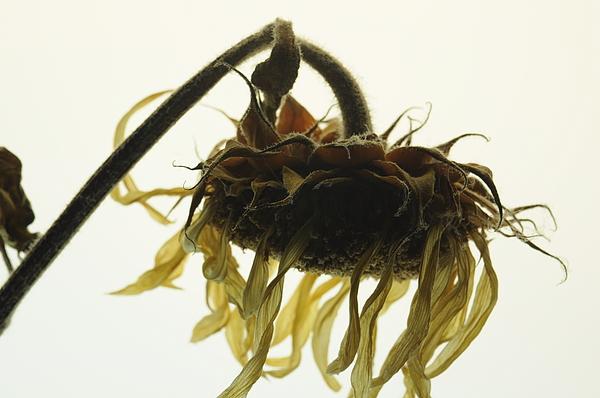 Sunflower Photograph - Sunflower Dream by Jon Benson