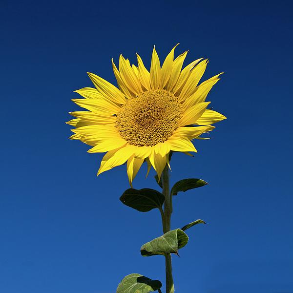 Square Photograph - Sunflower by Fotografias de Rodolfo Velasco