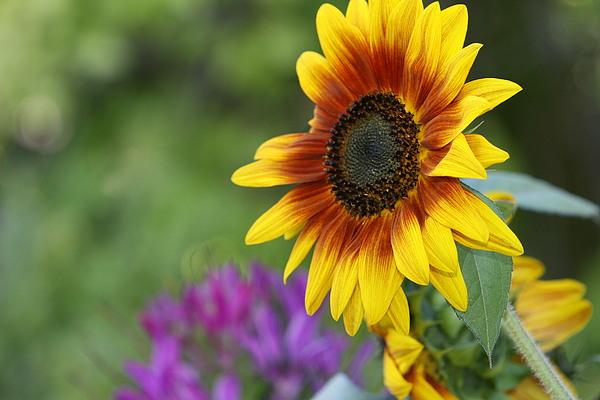 Sunflower Photograph - Sunflower by JoJo Photography