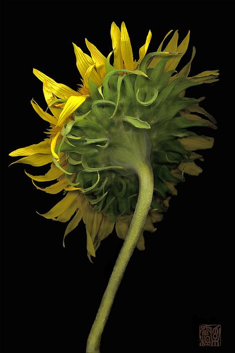 Flower Photograph - Sunflower by Lloyd Liebes