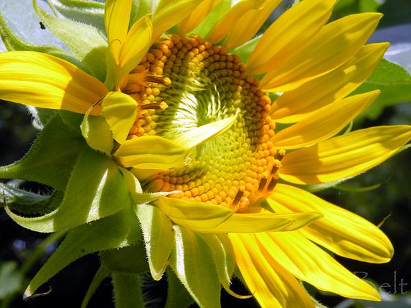 Sunflower Photograph - Sunflower No.35 by Christine Belt
