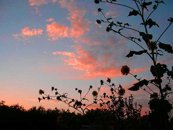 Sunflower Sunset Photograph by Scarlett Chambers