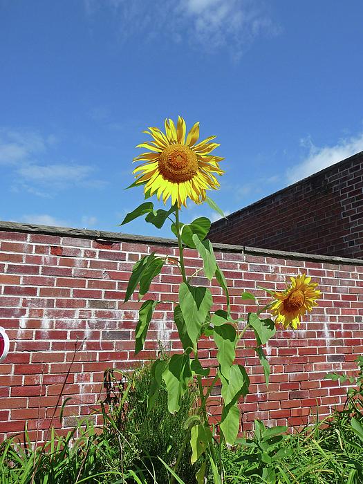 Sunflower Photograph - Sunflower Under Blue Skies by Margie Avellino