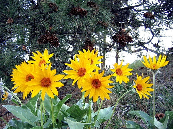 Sunflowers Photograph - Sunflowers And Pine Cones by Will Borden