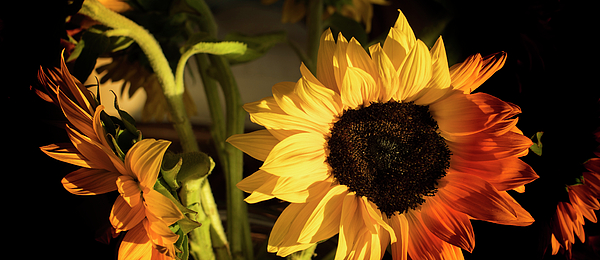 Sunflower Photograph - Sunny An Dark by Michael Hope