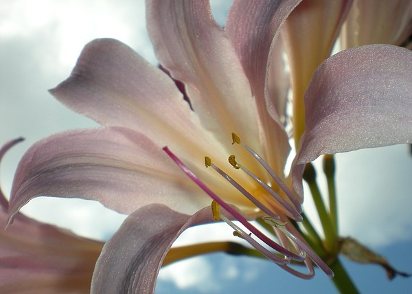 Surprise Lily Photograph - Surprise Lily by Michelle Willer