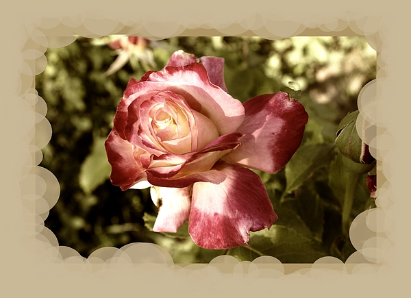 Wall Decor Photograph - Surprise Rose by Myrna Migala