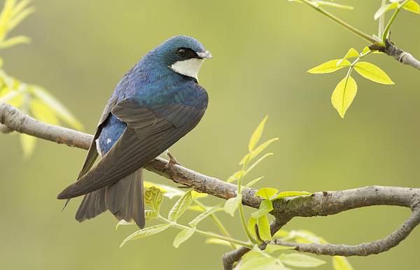 Male Photograph - Swallow by Mircea Costina Photography