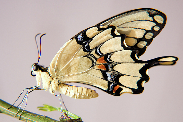 Nature Photograph - Swallowtail Butterfly by Julia Hiebaum