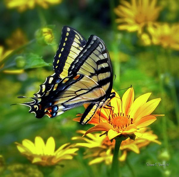 Diane Berry Photograph - Swallowtail Dance by Diane E Berry