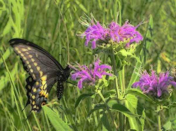Swallowtail Photograph by John Crissey