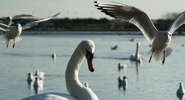 Swans Photograph - Swan And Gulls  by Martina Fagan