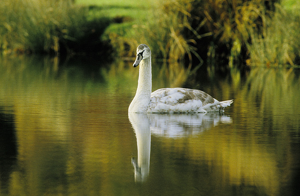 Swan Photograph - Swan Reflection by Steve Somerville
