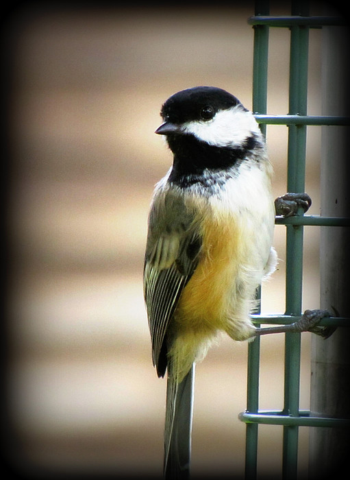 Black Photograph - Sweet Little Chickadee by Lisa Jayne Konopka